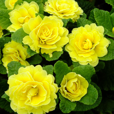 Primula belarina butter yellow dorset perennials primula belarina butter yellow mightylinksfo