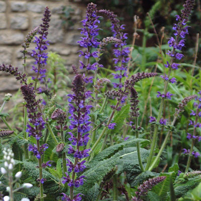 Salvia sylvestris 'Mainacht' (Maynight)
