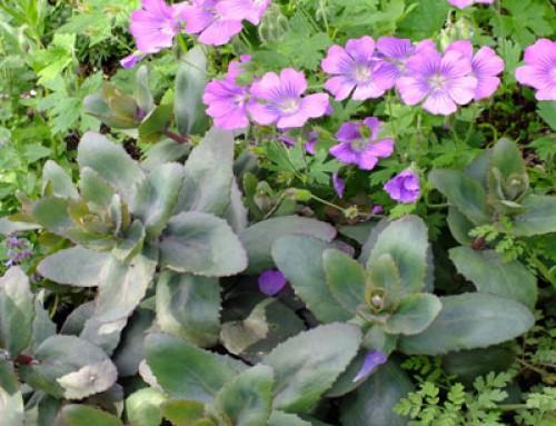 Plant Associations – Sedums