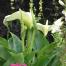 Zantedeschia aethiopica (Lily of the Nile)