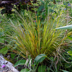 Anemanthele lessoniana (Stipa arundinacea) - New Zealand Wind Grass, Pheasant's Tail Grass
