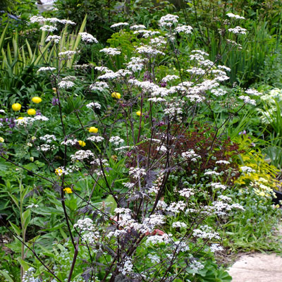 Anthriscus sylvestris 'Ravenswing' - Black Cow Parsley