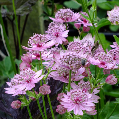 Astrantia major 'Lola'