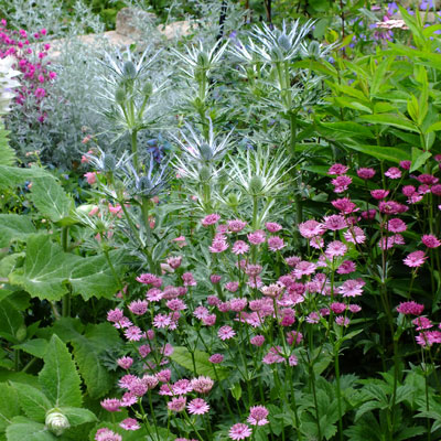 Astrantia major 'Venice' with Eryngium x zabelii