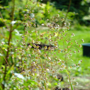 Briza media - Perennial Quaking Grass