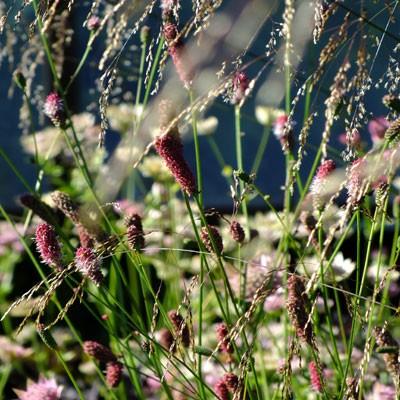 Sanguisorba 'Pink Tanna' and Deschampsia