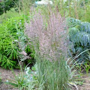 Calamagrostis x acutiflora 'Overdam' - Feather Reed Grass