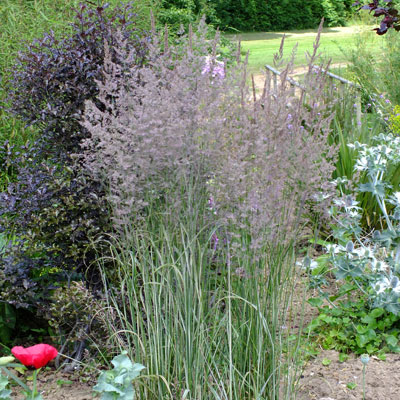 Calamagrostis x acutiflora 'Overdam' - Feather Reed Grass