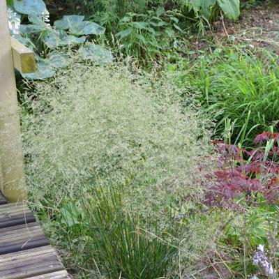 Deschampsia caespitosa 'Bronzeschleier' ('Bronze Veil') - Wavy Hair Grass