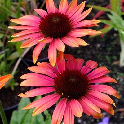 Echinacea 'Cheyenne Spirit'
