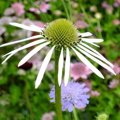 Echinacea pallida 'Hula Dancer' with Astrantia and Knautia