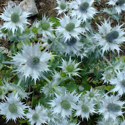 Eryngium giganteum - Miss Willmott's Ghost