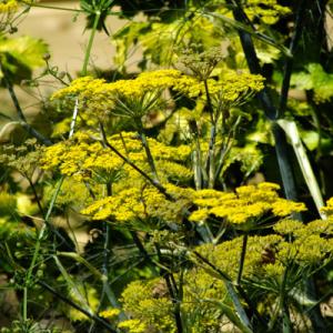 Foeniculum vulgare 'Purpureum' - Bronze Fennel