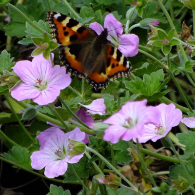 Geranium 'Mavis Simpson' with Small Tortoishell