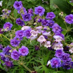 Geranium pratense 'Plenum Violaceum' with Penstemon 'Sour Grapes'