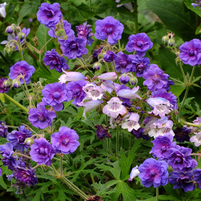 Geranium pratense 'Plenum Violaceum' with Penstemon 'Sour Grapes'
