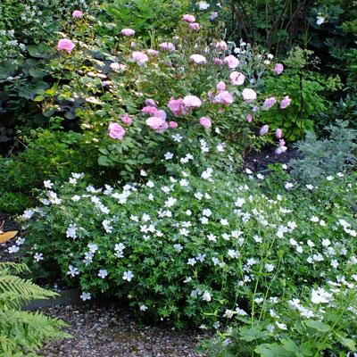 Geranium sanguineum 'Album' with roses