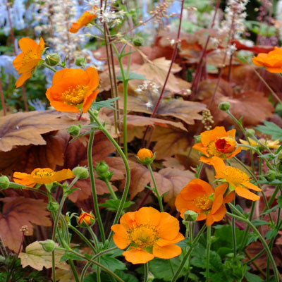 Geum 'Beech House Apricot' with Heucherella 'Sweet Tea'