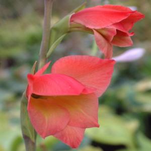 Gladiolus papilio 'David Hills'
