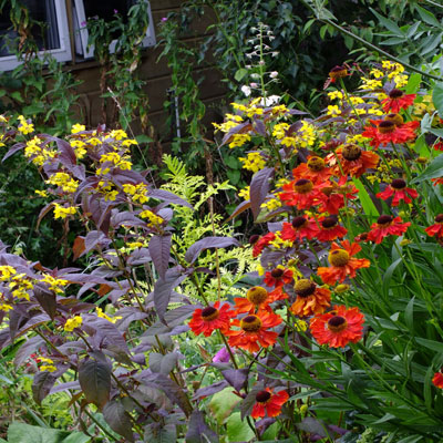 Helenium 'Moerheim Beauty' and Lysimachia ciliata 'Firecracker'