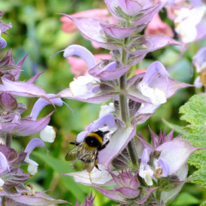 Salvia sclarea 'Turkestanica' (Clary) with bumblebee