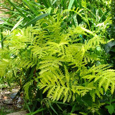Tanacetum vulgaris 'Isla Gold' - Golden Tansy