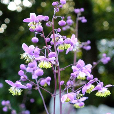 Thalictrum delaveyi (Thalictrum dipterocarpum)