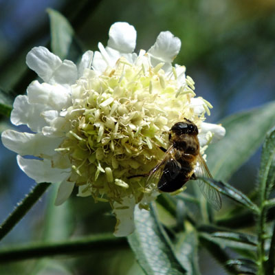 Cephalaria gigantea with honeybee