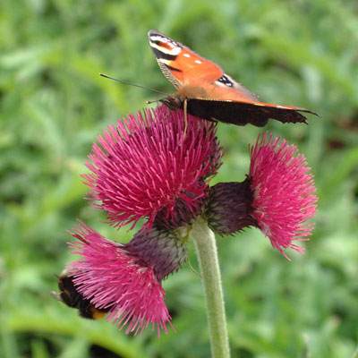 Cirsium rivulare 'Atropurpureum' with Peacock