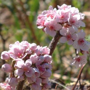 Darmera peltatum (Peltiphyllum peltatum)