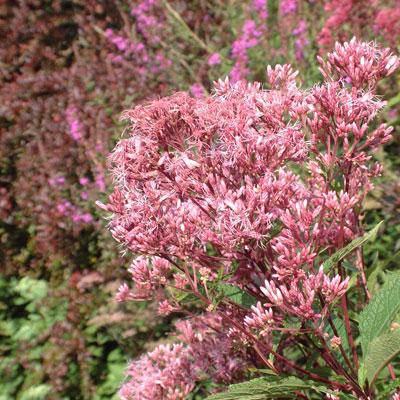 Eupatorium maculatum purple bush dorset perennials eupatorium maculatum purple bush mightylinksfo