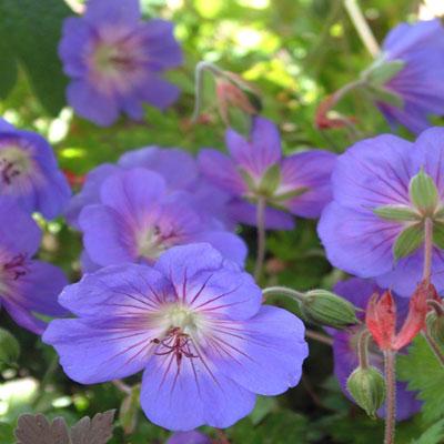 Geranium 'Rozanne' (Geranium 'Jolly Bee')