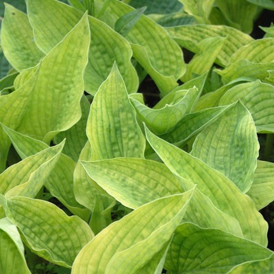 Hosta 'Nancy Lindsay'
