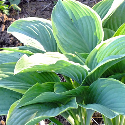 Hosta Regal Splendor Dorset Perennials