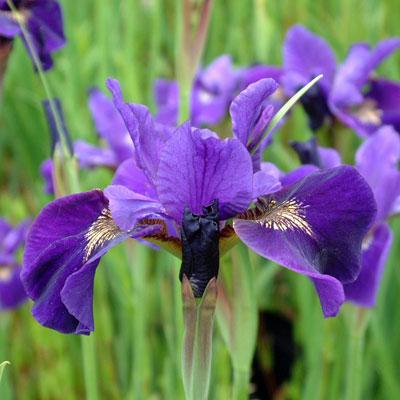 Iris sibirica 'Ruffled Velvet'