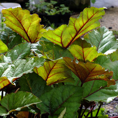 Rheum 'Ace of Hearts'