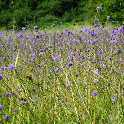 Succisa pratensis - Devil's Bit Scabious on Holwell Drove