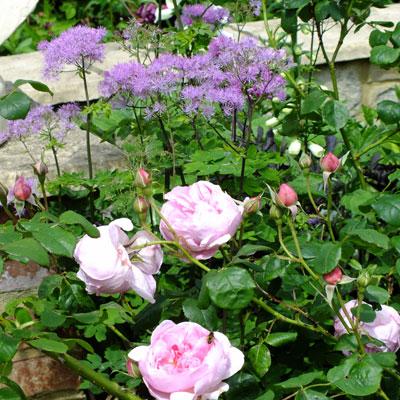 Thalictrum aquilegifolium 'Thundercloud' with Rosa 'Sceptred Isle'