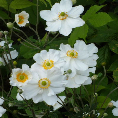 anemone x hybrida 39 honorine jobert 39 dorset perennials. Black Bedroom Furniture Sets. Home Design Ideas