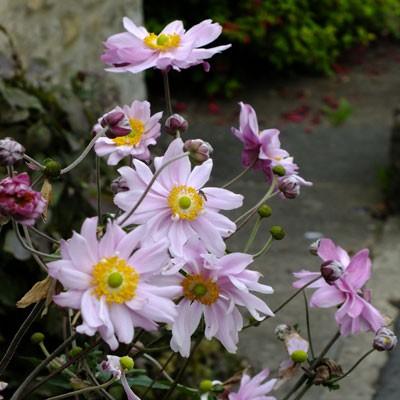 Anemone x hybrida 'Queen Charlotte' ('Konigin Charlotte')