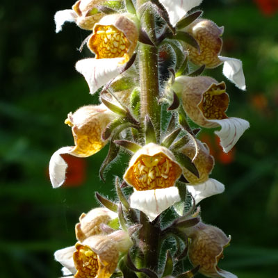 Digitalis lanata - (Cafe Creme) - Woolly Foxglove