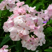 phlox paniculata 39 rosa pastell 39 dorset perennials. Black Bedroom Furniture Sets. Home Design Ideas