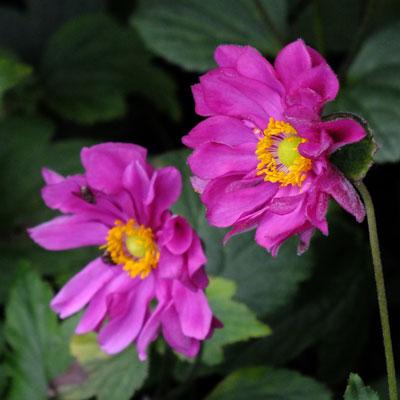 Anemone hupehensis var. japonica 'Rotkappchen'
