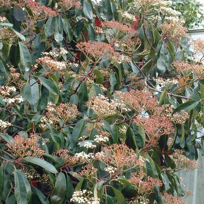 Photinia serrulata