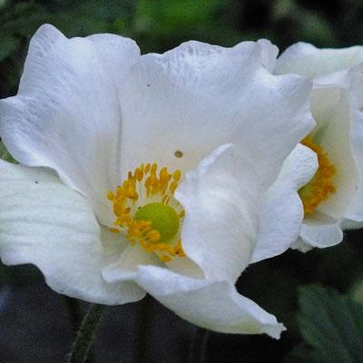 Anemone x hybrida 'Andrea Atkinson'