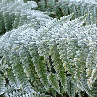 Dryopteris affinis with frost