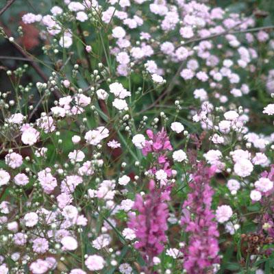 Gypsophila 'Festival Pink'