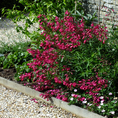 Penstemon 'Garnet' ( P.'Andenken an Friederich Hahn' )