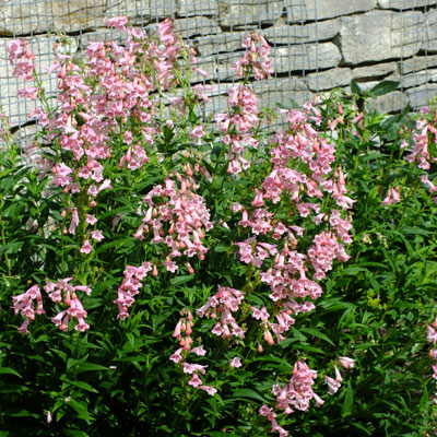 Penstemon- 'Hidcote Pink'