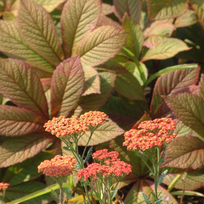Achillea with Rodgersia